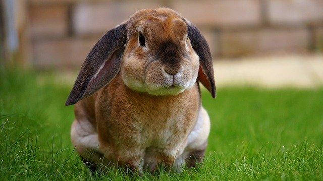 sedící králík