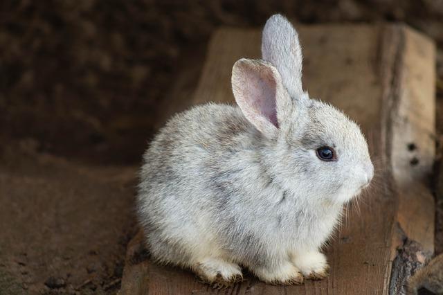 šedý králíček
